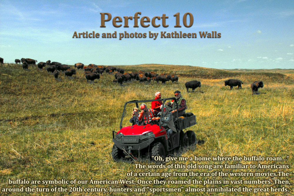 ATV near bison herd at perfect 10 bison ranch in Nebraska's sandhill country