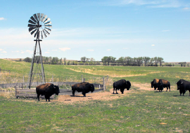 windmill in field with bison herd at perfect 10 bison ranch in Nebraska's sandhill country