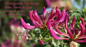 Pink honeysuyckle plant for header