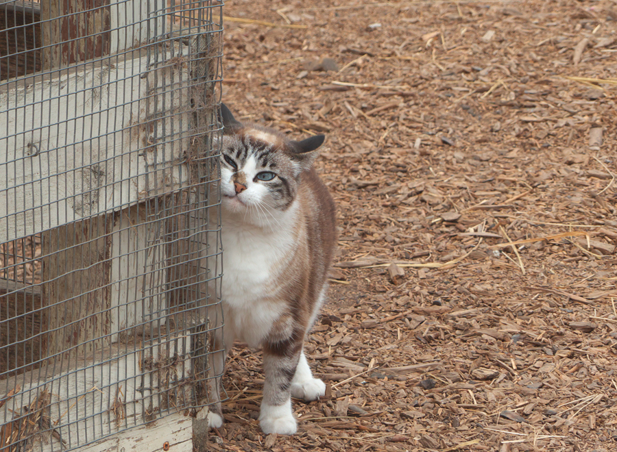 Cat rubs against fence at Harley Farm