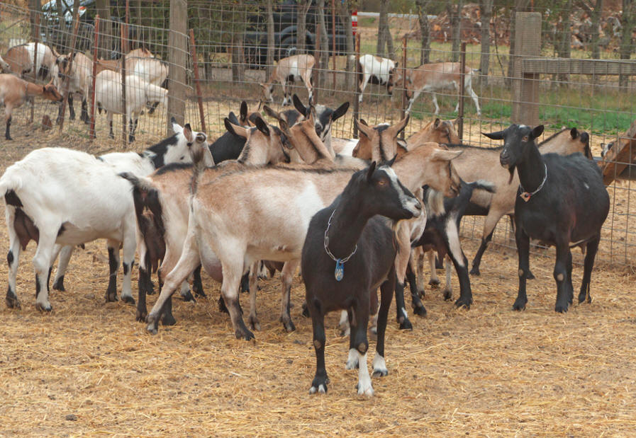 Some of the goats at Harley Farm