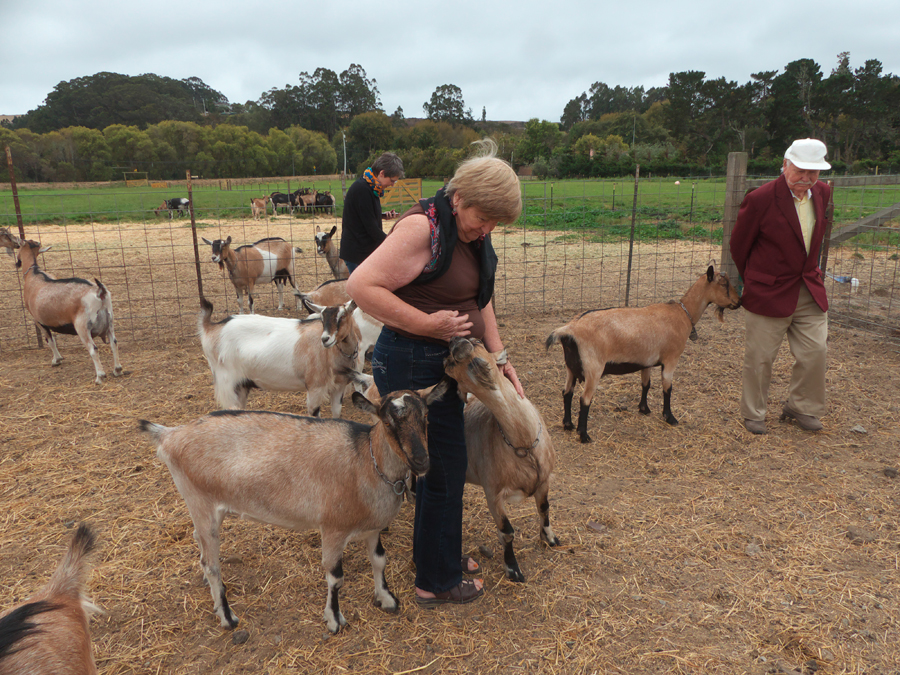 Author and other visitors with goats at Harley Farm