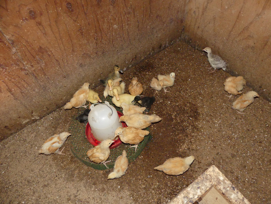 baby chicks and ducks around a feeder and waterer atOld McCaskill Farm