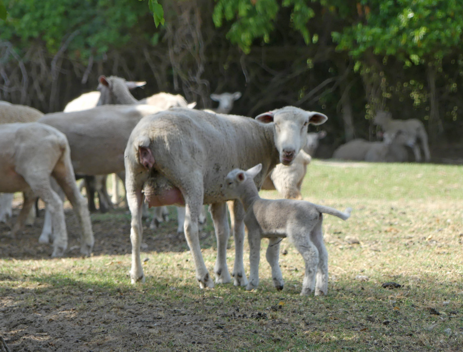 Sheep herd with momma and baby sheep