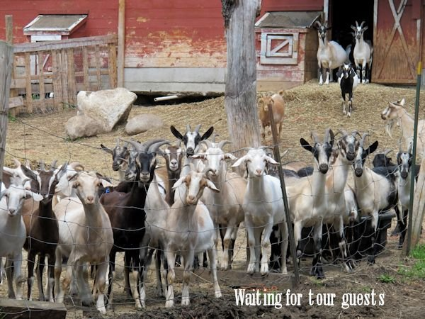 goats in frotn of barn