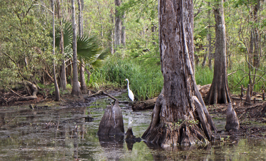 Snowy egret on cypress log.in swamp