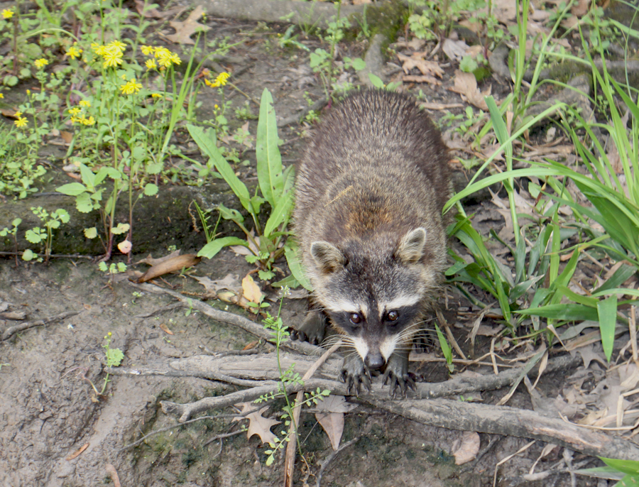 One of the raccoons on the bank waiting for a handout