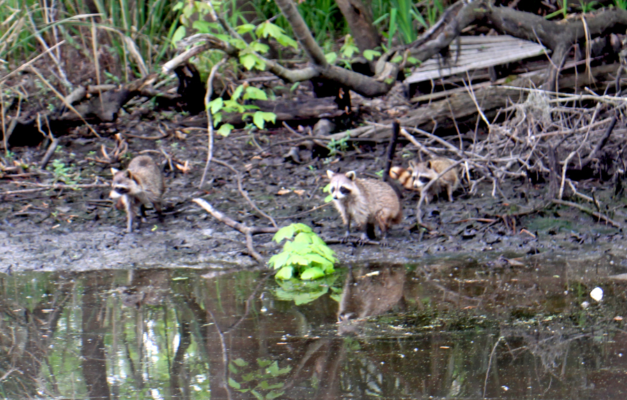Family of raccoons eating the lettuce