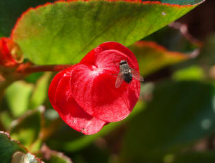 Bee on red flower at Filoli