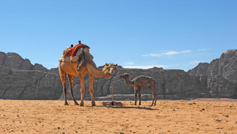 Mother and baby camel in Wadi Rum
