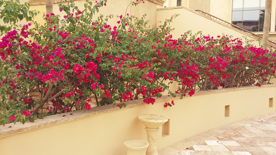 Bright red flowere blooming agains the sand collored walls of Kempinsky Hotel by the Dead sea