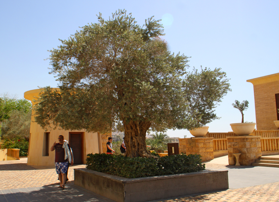 700 year old olive tree  at Kempinsky Hotel Isthar by Dead Sea