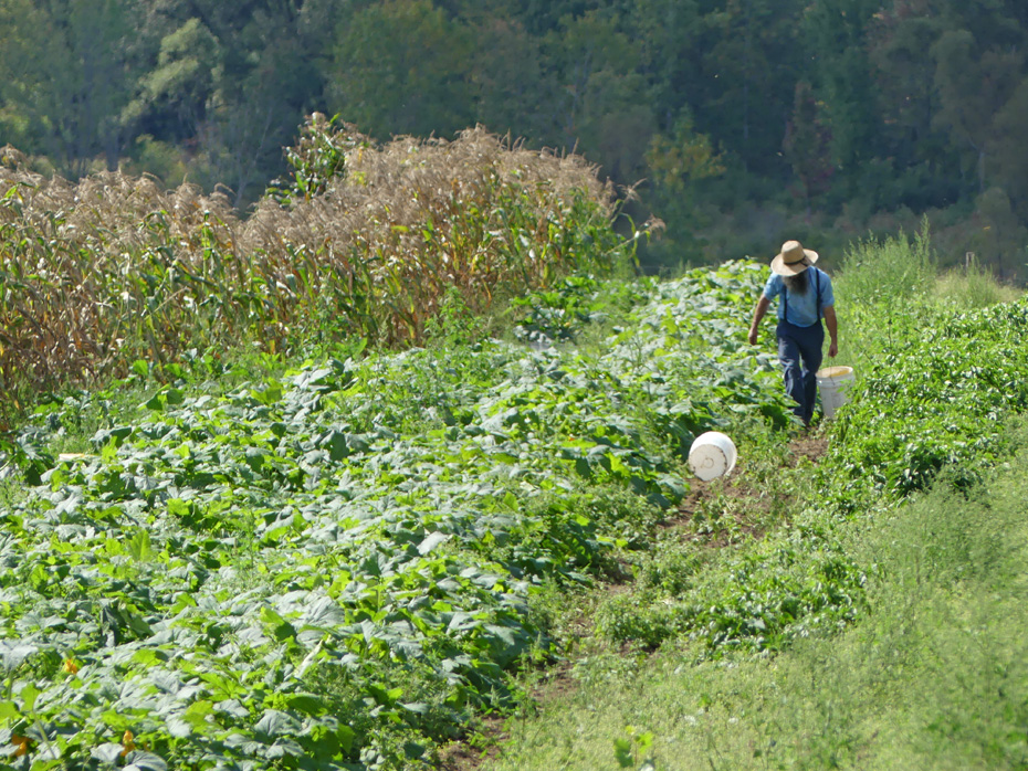 Amish farmer picking in his field