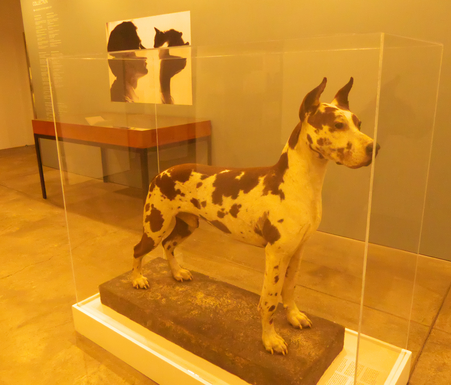 Cecil a stuffed Great Dane at Andy Warhol Museum
