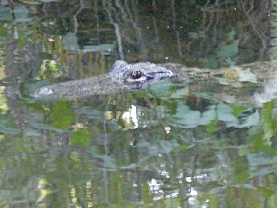view of large alligator with head above water