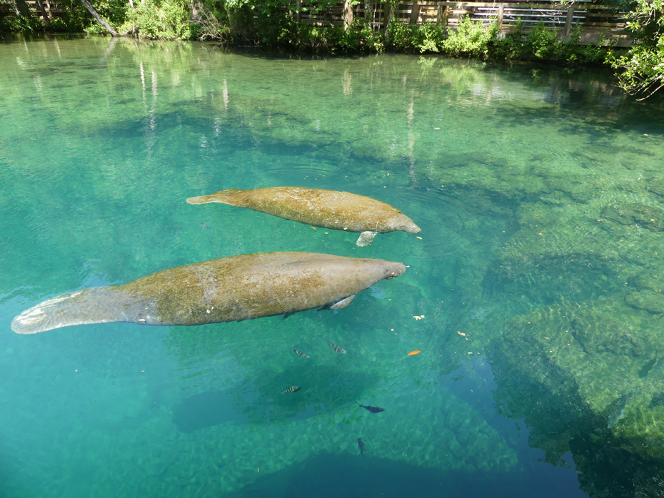 mother and baby manatee in water