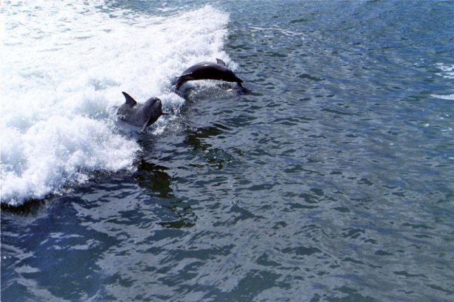 Two dolphins jumping in water .