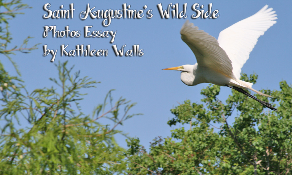 White Egret flying over trees as title for St. Augustine's Wild Side