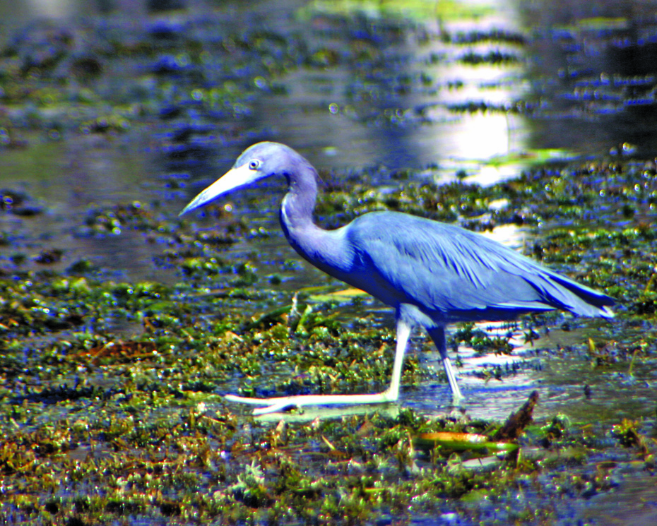 blue heron in marsh.