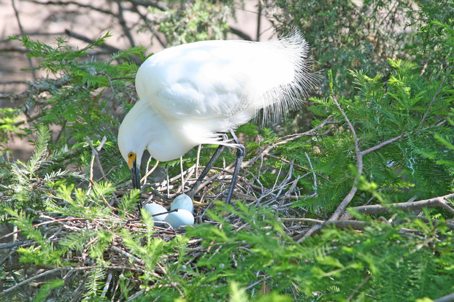 White Egret tending her nest with three eggs in it.