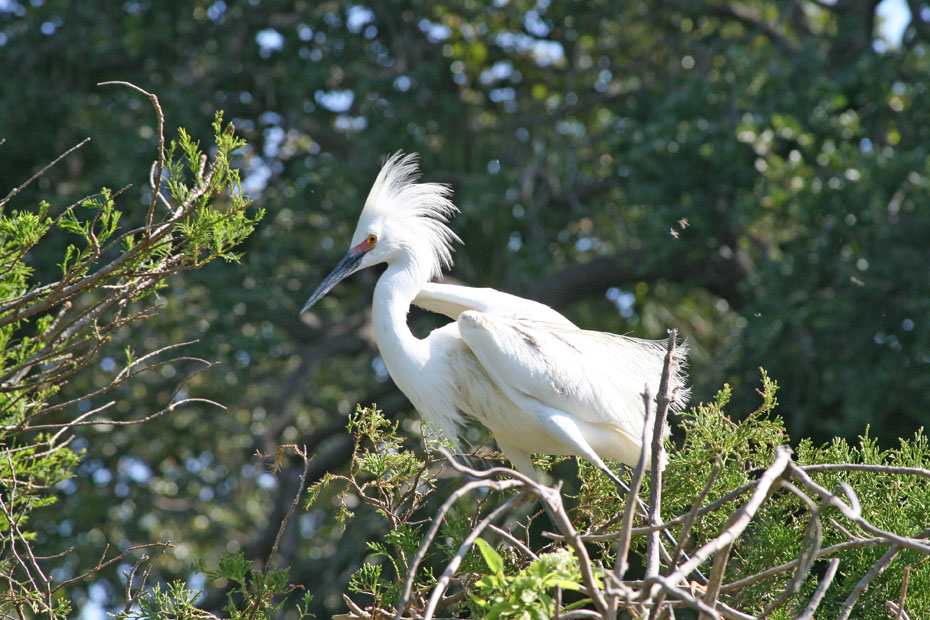 White Egret in tree top.