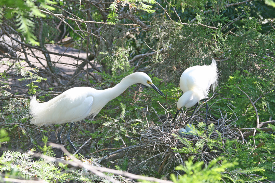 pair of White Egrets tending  nest with three eggs in it.
