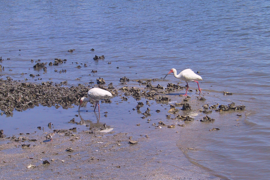 Two White ibises walking through oyster bed in shallow water.