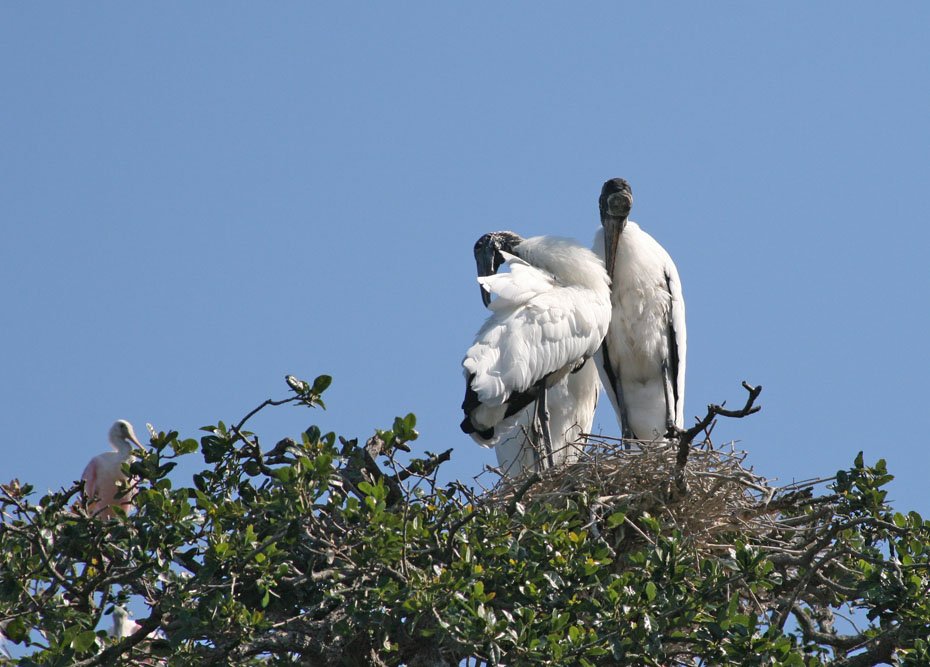 two Wood storks in tree.