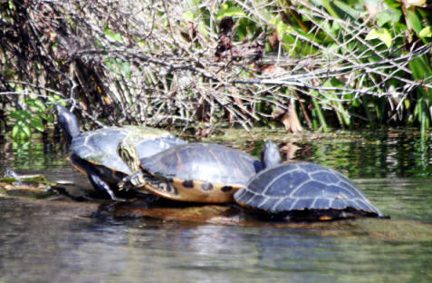 turtles sunning at Silver Springs State Park near Ocala, Flofids