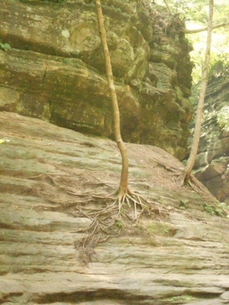 trees growing on almosst solid rock canyon at Starved Rock State Park