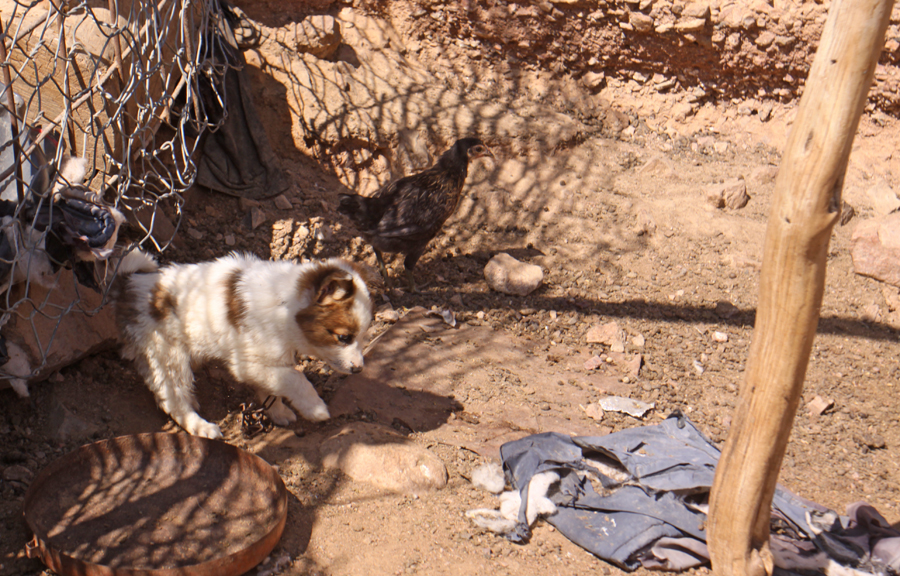 Puppy in Bedouin community at Wadi Feynan
