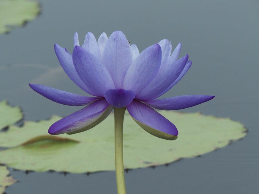 Blue Cloud at International Waterlily Collection