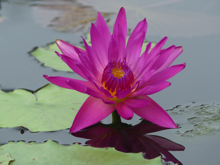 Fushia pom pom at International Waterlily Collection