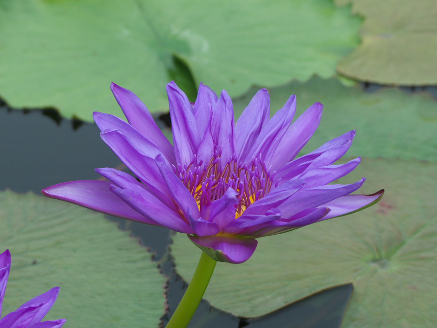 Suwannata at International Waterlily Collection