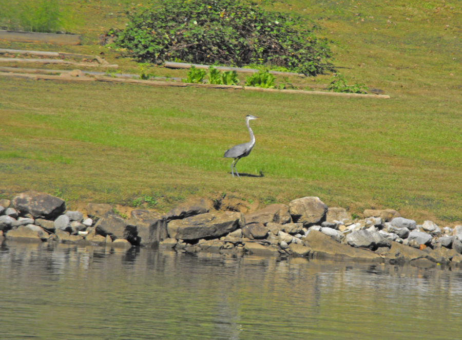 Egret along hte banks of the Tennessee River