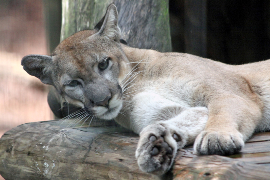 Florida panther                                       walking up at Lowry Park Zoo
