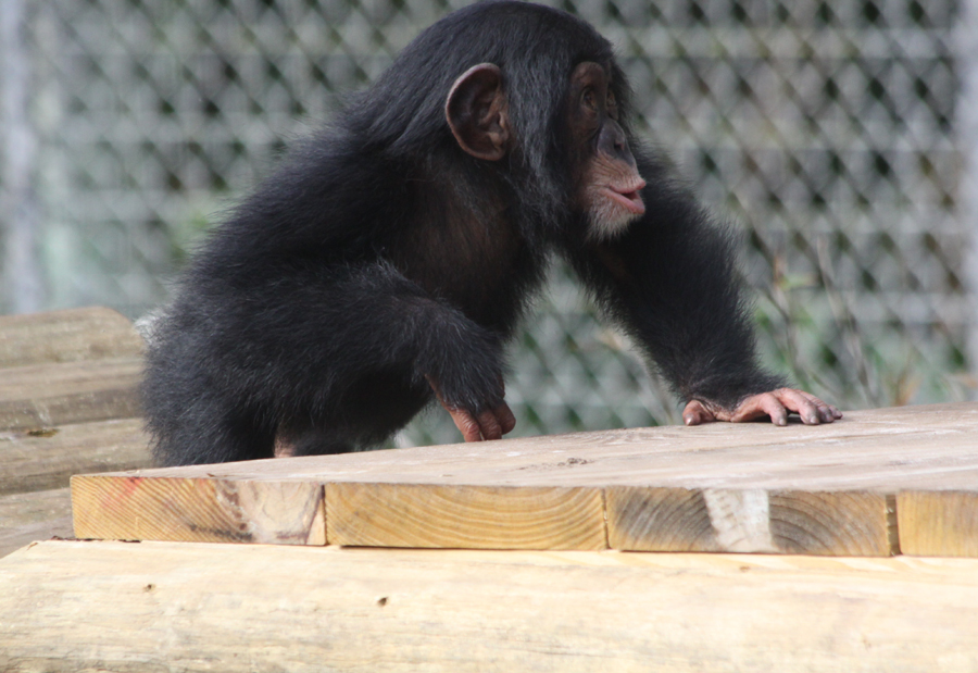 baby chimp at Lowry                                       Park Zoo