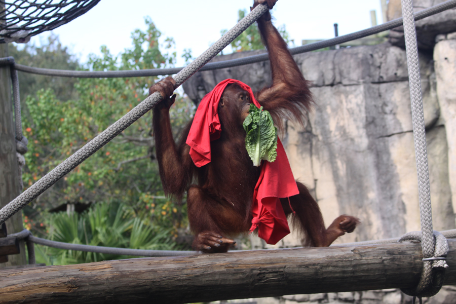 Orangutang with                                       blanket and lettuce climbing rope                                       at Lowry Park Zoo