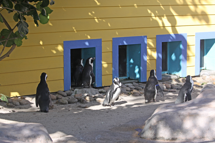 African penguins at                                       Lowry Park Zoo