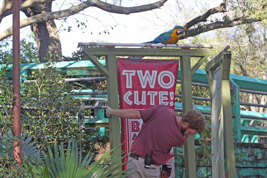 Parrot in tree behind                                       Two Cute sign as keeper climbs to                                       get him at Lowry Park Zoo