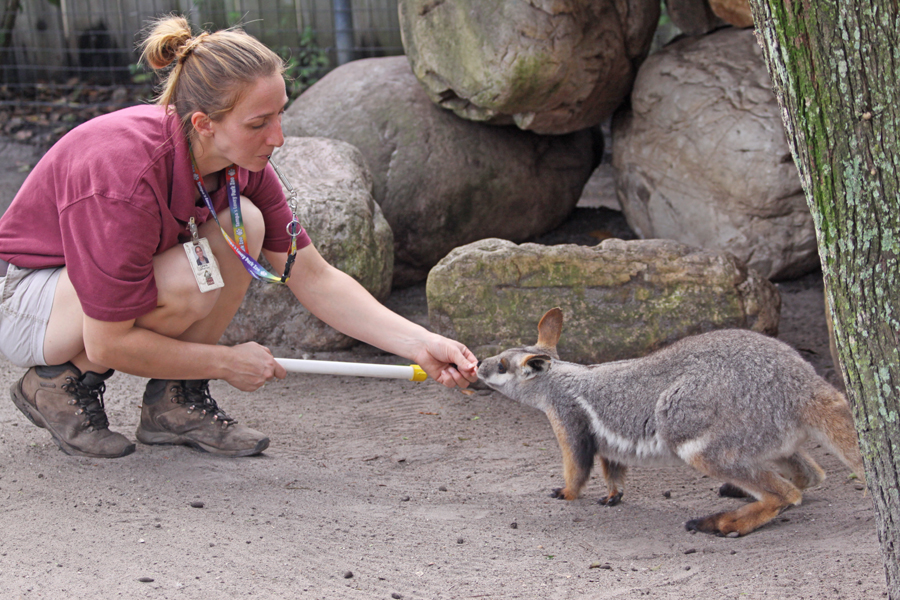 Keeper practicing                                       targeting wiith wallaby at Lowry                                       Park Zoo