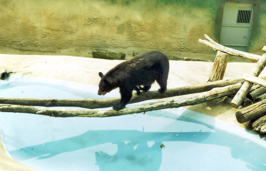 bear walking across double logs over small pond at zoo
