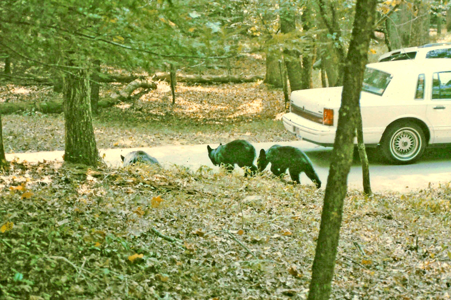 Momma bear teaching and two cubs crossing a road in Cades Cove