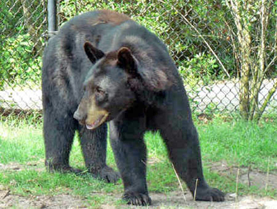 Jacksonville Zoo bear standing in grass