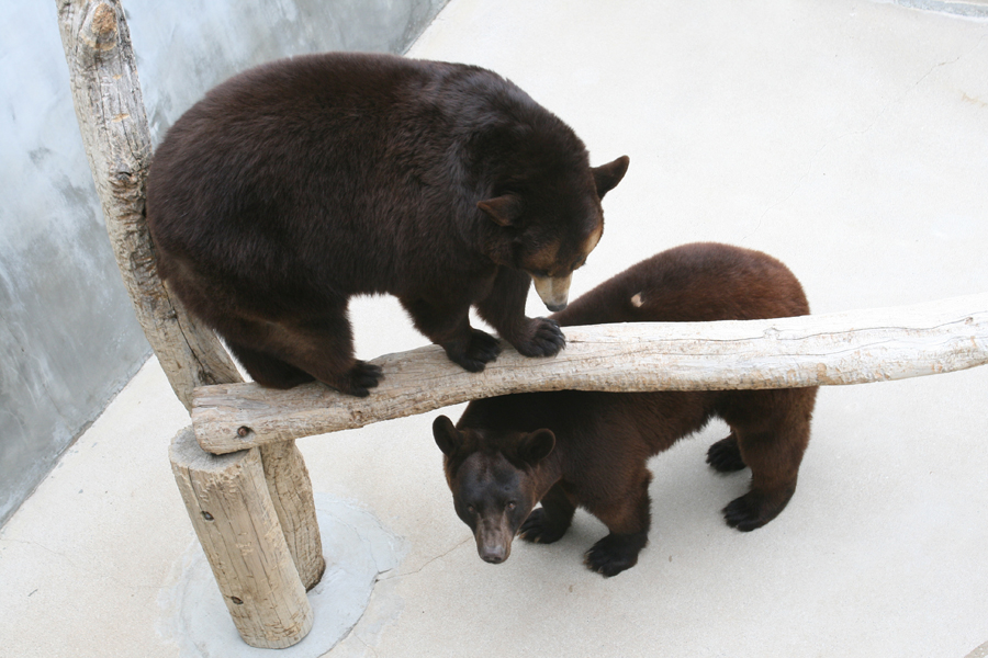 two bears, one on small log one beneath it at zoo
