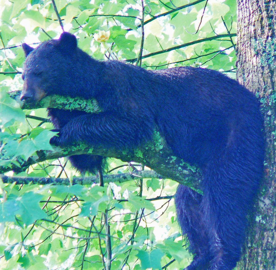 large bear in tree at Cades Cove