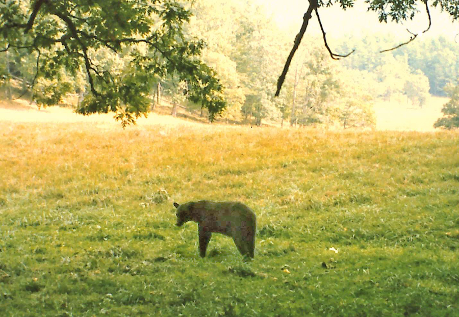 A  bear in clearing at Cades Cove