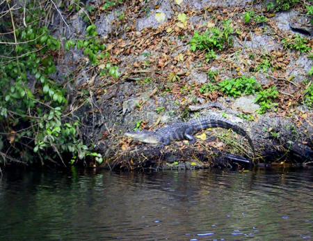 Alligator on the banks of Shell Creek