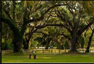 Oaks draped with moss in Jekyll Island  used as header photo