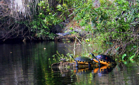 Turtles on a limb in Shell Creek with an Alligator behind them